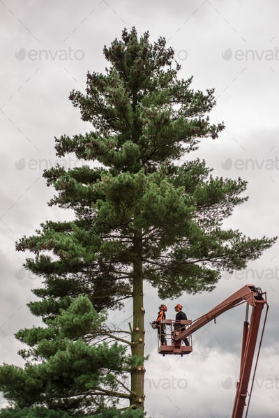 Arborist men with chainsaw and lifting platform cutting a tree