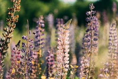 Bush Of Wild Flowers Lupine In Summer Field Meadow At Sunset Sunrise. Lupinus, Commonly Known As