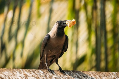 Goa, India. House Crow Sitting On Crossbar With Piece Of Chicken In Beak