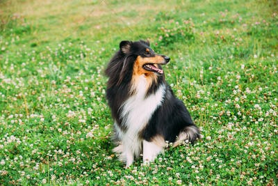 Rough Collie, Scottish Collie, Long-Haired Collie, English Collie, Lassie Adult Dog Sitting On The