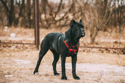 Black Young Cane Corso Puppy Dog Wears In Special Clothes Sitting Outdoors. Big Dog Breeds