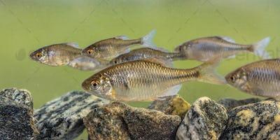 European bitterling shoal fish natural environment