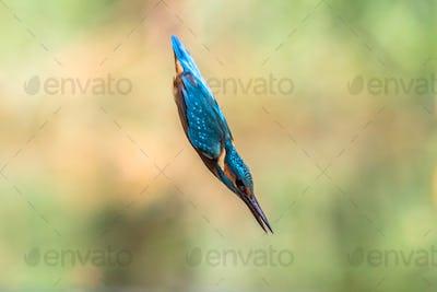Common European Kingfisher diving