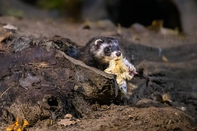 Polecat at night with prey