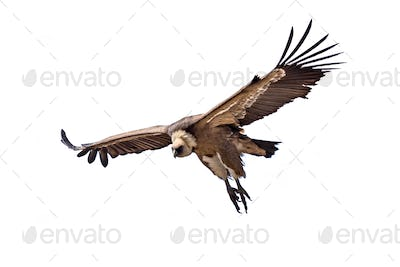 Griffon vulture flying on white background