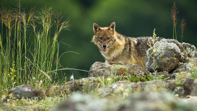 Curious golden jackal hiding behind rocks in mountains