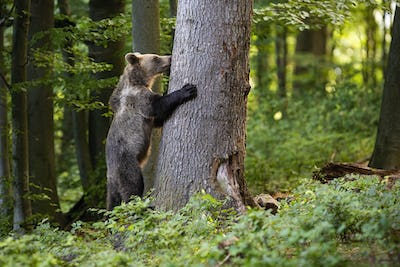 Interested young brown bear grasping a tree in spring forest