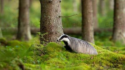 Adult european badger walking on green moss in summer forest