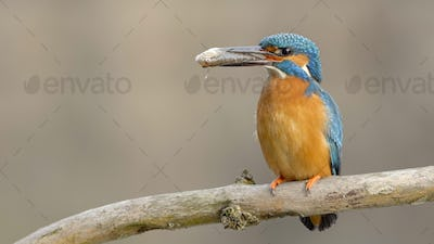 Cute common kingfisher sitting on a twig and holding fish in its long beak