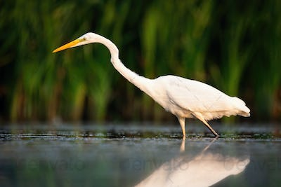Elegant great egret hunting in river in summer at sunset