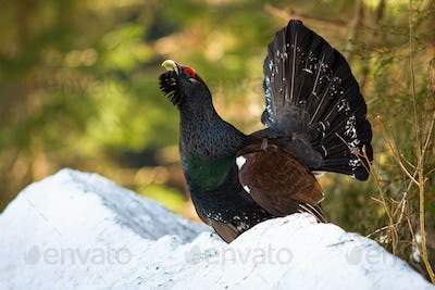 Impressive western capercaillie lekking from the last mound of snow