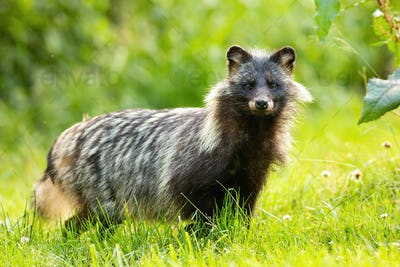 Horizontal composition of wild raccoon dog, nyctereutes procyonoides, in summer