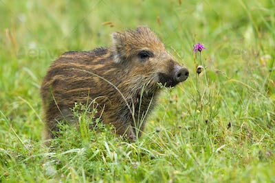 Beautiful wild boar piglet sniffing with a snout on meadow in spring