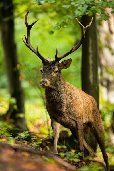 Active red deer stag walking up a hill in summer forest from front view