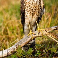 Female eurasian sparrowhawk sitting on bough in summer nature