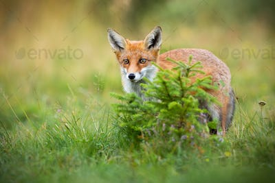 Curious red fox hiding behind a small spruce tree on glade in summer