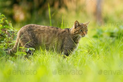 Focused european wildcat on a hunt looking for prey in summer