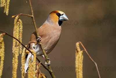 Attentive hawfinch peeking out from behind of hazel flowers on sunny spring day