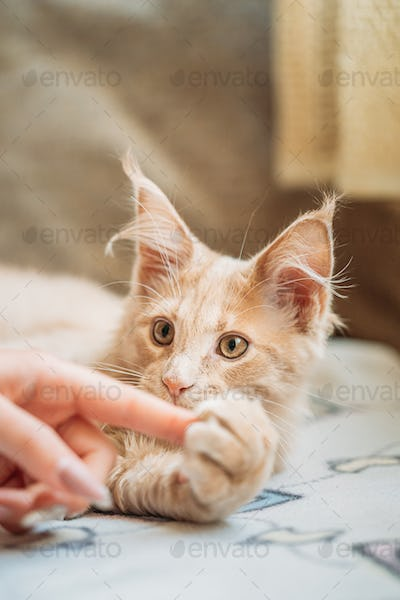Woman Stroking Funny Curious Young Red Ginger Maine Coon Kitten Cat Sitting At Home Sofa. Coon Cat