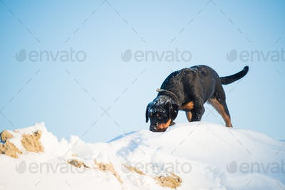 Cute curious young rottweiler dog