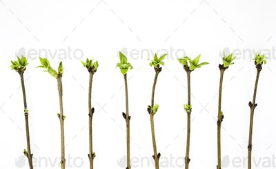 Branches lilac tree with spring buds isolated on white