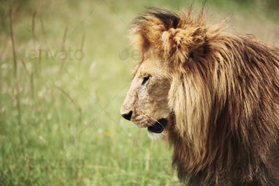 Side view of big lion in nature