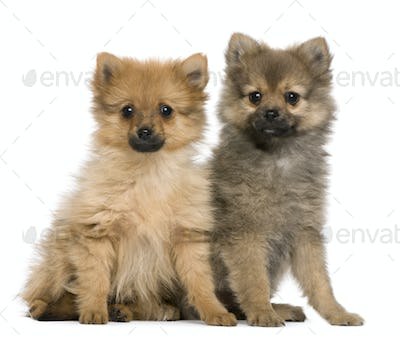 Spitz puppies, 3 months old, sitting against white background