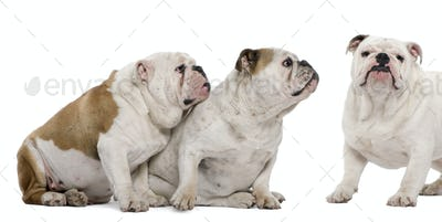 Three English Bulldogs in front of white background