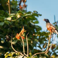 Goa, India. Jungle Myna Sitting On Branch Of Tree And Tweeting