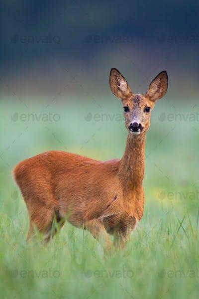 Wild roe deer doe walking through a hay field on early summer morning