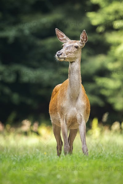 Shy red deer hind listening on a green meadow from front view