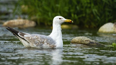 Strong caspian gull swimming on water of stream between stones in summer