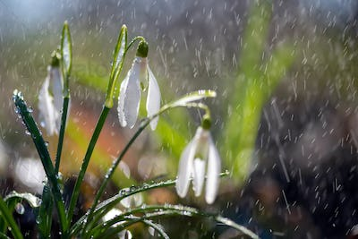 Close first spring flowers snowdrops with rain