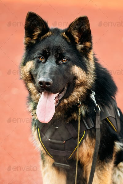 Young Alsatian Wolf Dog. Black German Shepherd Dog Close Up
