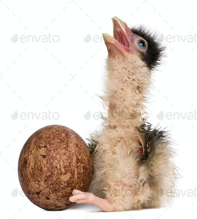 Southern Caracaras, 12 hours old, chick sitting with egg in front of white background