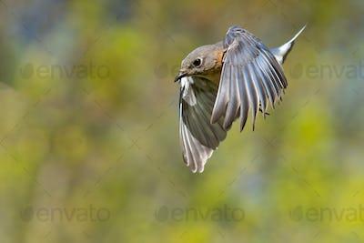 Eastern Bluebird in a Dive