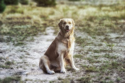 golden retriever dog lies on the grass