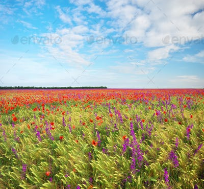 Meadow of wheat and poppy at day.