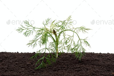 Dill in the soil