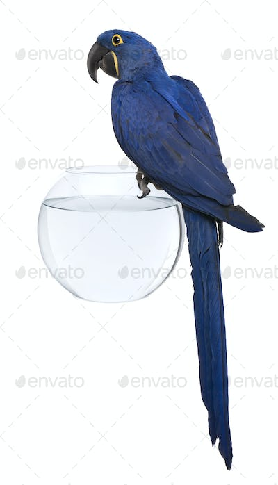 Hyacinth Macaw, 1 year old, perched on an aquarium against white background