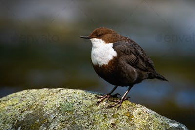 Cute white-throated dipper sitting on a stone with moss in river