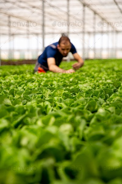 Young agronomist in the background among salad plants