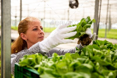 Working woman looks at a salad plant while she puts it in the basket
