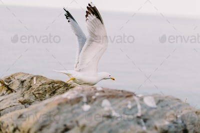 beautiful seagull flying on the rocky beach