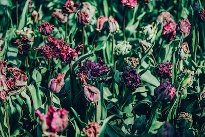 Flower gardens in the Netherlands