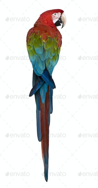 Red-and-green Macaw perching in front of white background