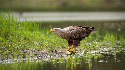 Massive white-tailed eagle sitting on a catch of fish by a lake in wetland
