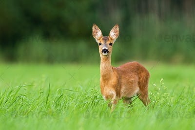 Surprised roe deer fawn looking into camera from front view with copy space