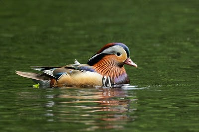 Adorable mandarin duck swimming in pond with water in summer