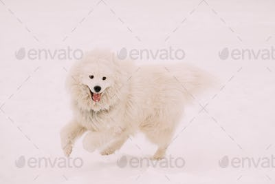 Funny Young White Samoyed Dog Or Bjelkier, Smiley, Sammy Playing Fast Running Outdoor In Snow